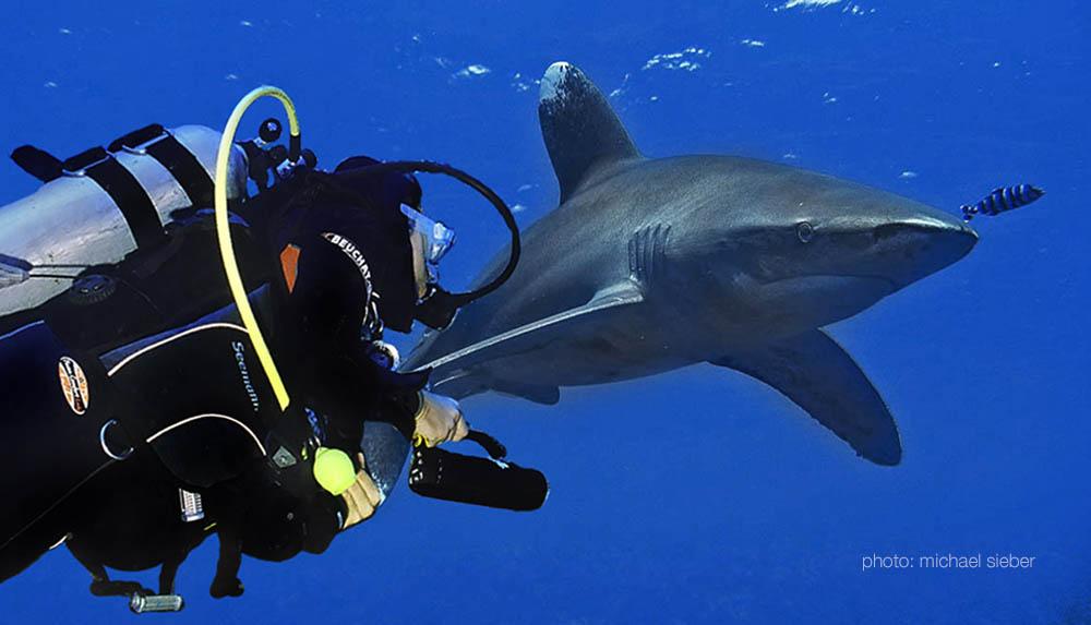 Begegnung mit einem Hochseehai - Longimanus - im tiefen Süden des Roten Meeres bei Shaab Dangerous in Ägypten - Foto: Michael Sieber